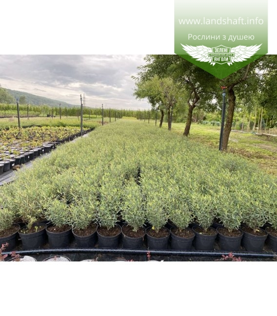 Salix purpurea 'Nana', Верба пурпурова 'Нана'