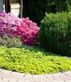 Juniperus horizontalis 'Golden Carpet', Ялівець повзучий 'Голден Карпет' в ланшафтному дизайні