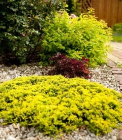 Juniperus horizontalis 'Golden Carpet', Ялівець повзучий 'Голден Карпет' насиченого золотистого кольору