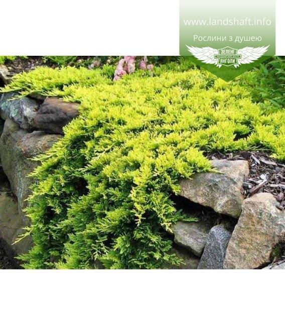 Juniperus horizontalis 'Golden Carpet' Можжевельник горизонтальный 'Голден Карпет' почвопокровное растение