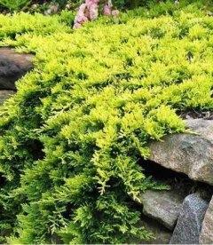 Juniperus horizontalis 'Golden Carpet', Ялівець повзучий 'Голден Карпет' грунтопокривна рослина