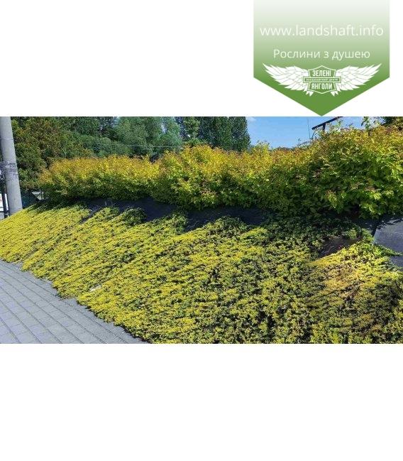 Juniperus horizontalis 'Golden Carpet', Ялівець повзучий 'Голден Карпет'
