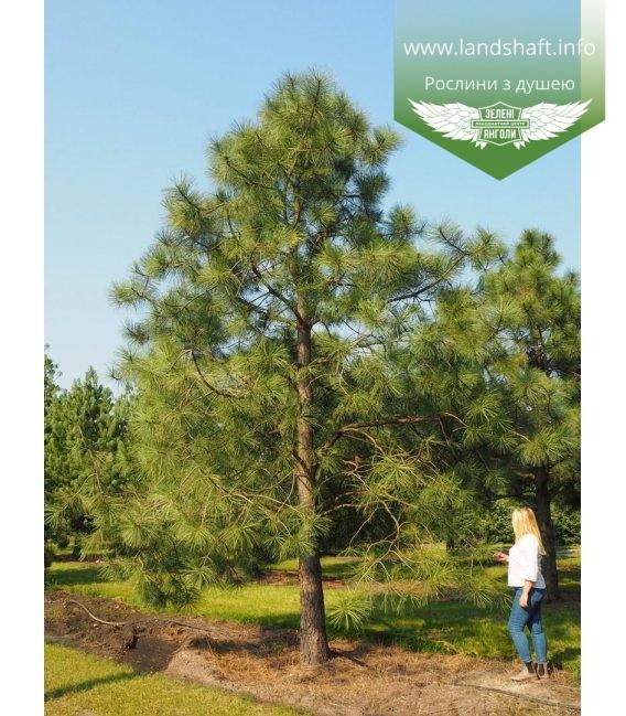 Pinus ponderosa Сосна желтая в горшке