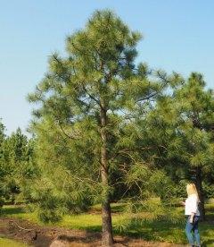 Pinus ponderosa, Сосна желтая