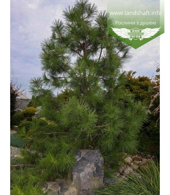 Pinus ponderosa Сосна желтая в ландшафтном дизайне.