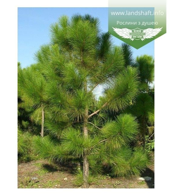 Pinus ponderosa Сосна желтая
