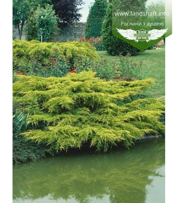 Juniperus chinensis 'Pfitzeriana Aurea', Ялівець китайський 'Пфітцеріана Ауреа' в ландшафтному дизайні