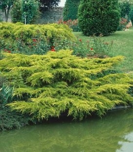 Juniperus chinensis 'Pfitzeriana Aurea', Можжевельник китайский 'Пфитцериана Ауреа'