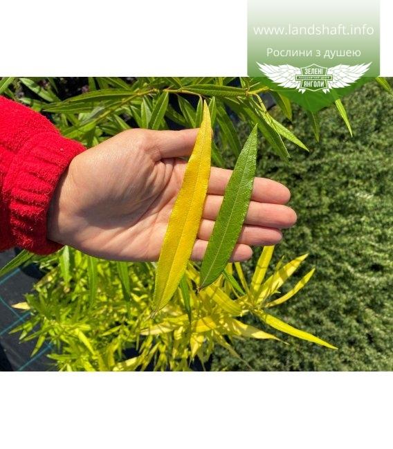 Ива udensis 'Sekka' Ива удская окрас листьев Голден Саншайн (слева) и Секка (спрпва)