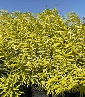 Верба udensis 'Golden Sunshine', Верба удинська 'Голден Саншайн' на розсаднику.