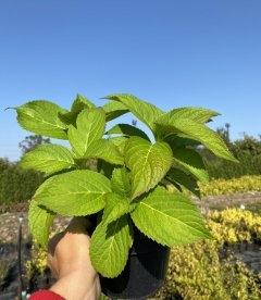 Hydrangea macrophylla mix, Гортензія крупнолиста в асортименті восени