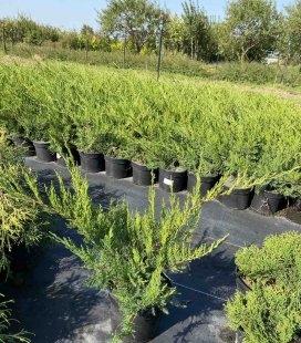 Juniperus x media 'Mint Julep', Ялівець середній 'Мінт Джуліп' в горщику 5л.