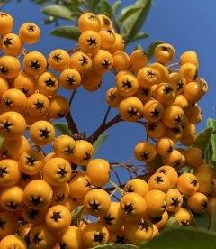 Пираканта ярко-красная Солейл д'Ор яркие ягодки.