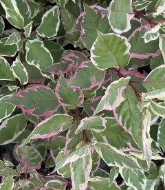 Cornus alba 'Elegantissima', Дерен білий 'Елегантіссіма' колір листя восени.