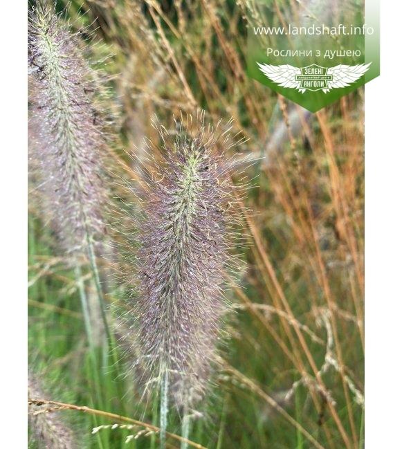 Pennisetum alopecuroides 'Lady U',Пеннисетум лисохвостный 'Леди Ю'