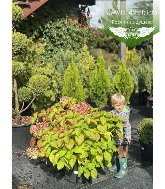 Hydrangea macrophylla mix, Гортензія крупнолиста в асортименті в контейнері 25л.
