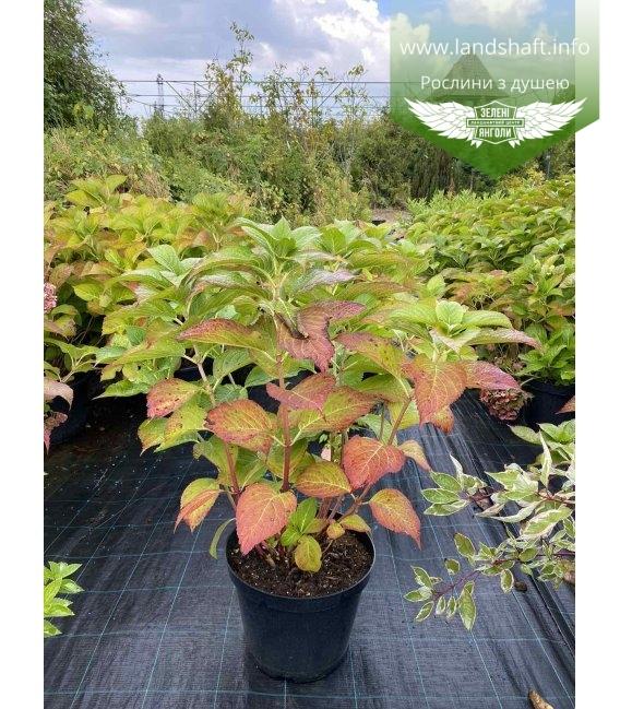 Hydrangea macrophylla mix, Гортензія крупнолиста в асортименті в контейнері с15.
