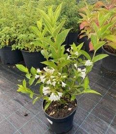 Weigela florida 'Candida' Вейгела цветущая в контейнере 5л.