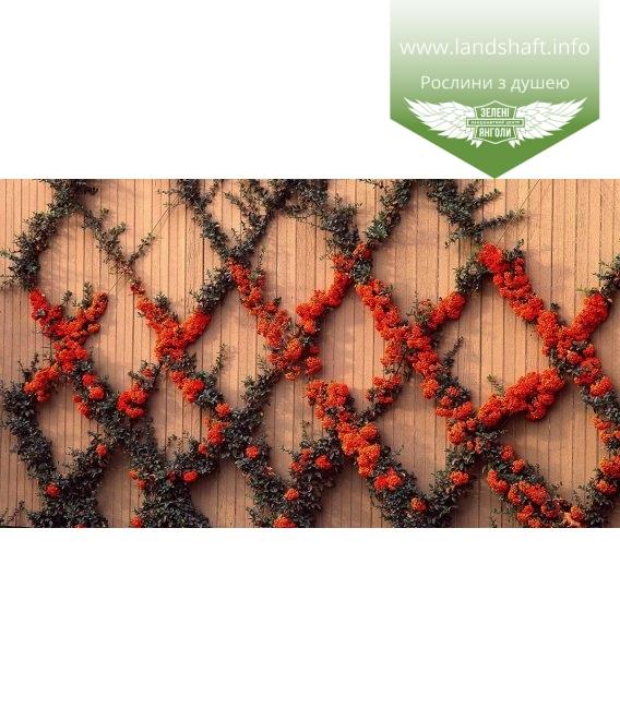Pyracantha coccinea 'Red Column' Пираканта ярко-красная