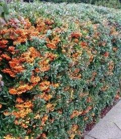 Pyracantha coccinea 'Orange Charmer', Піраканта яскраво-червона 'Оранж Чармер'