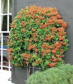 Pyracantha coccinea 'Orange Glow', Пираканта ярко-красная 'Оранж Глоу'