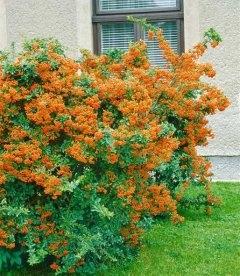Pyracantha coccinea 'Orange Glow', Піраканта яскраво-червона 'Оранж Глоу'