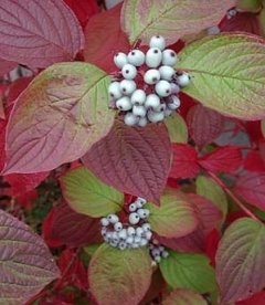 Cornus alba 'Siberian Pearls', Дерен білий 'Сайберіан Перлз'