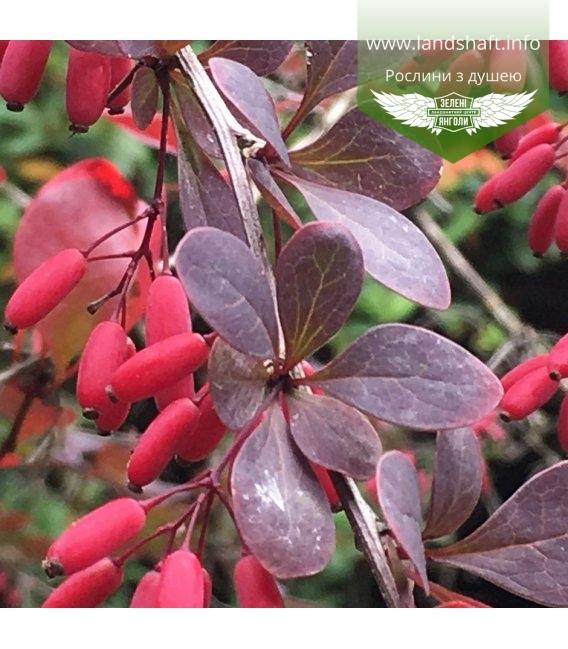 Berberis thunbergii 'Atropurpurea', Барбарис Тунберга 'Атропурпуреа'
