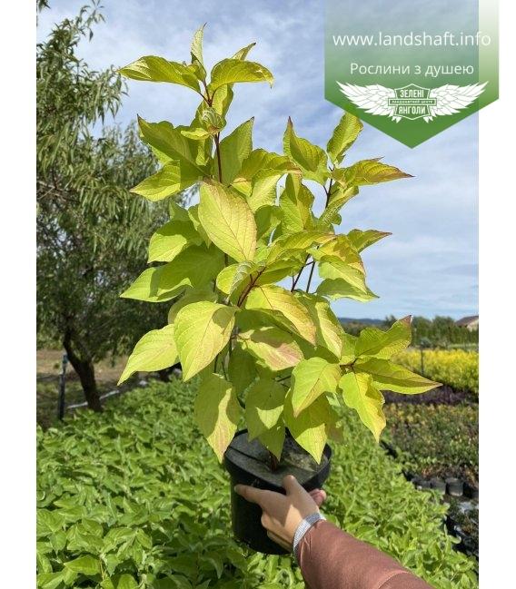 Cornus alba 'Aurea', Дерен білий 'Ауреа'