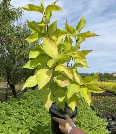 Cornus alba 'Aurea', Дерен белый 'Ауреа'
