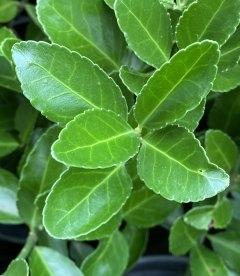 Euonymus japonicus 'Grandifolius', Бересклет японський 'Грандіфоліус'