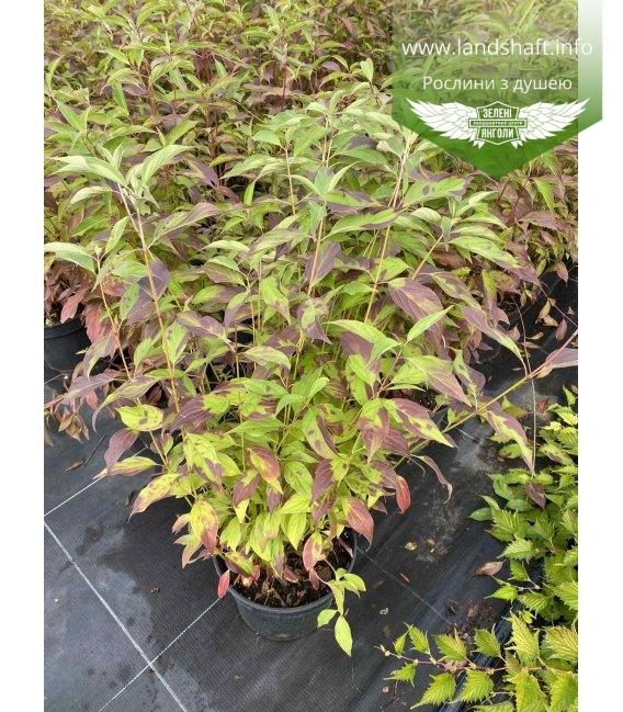Cornus alba 'Regnzam/Red Gnome', Дерен белый 'Регнзам/Ред Гноум' растение в горшке 5л.