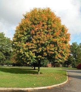 Acer truncatum, Клён усечённый