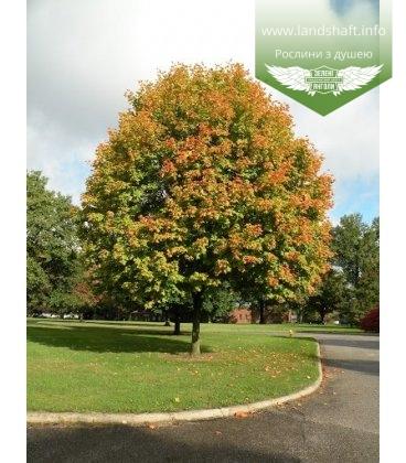Acer truncatum, Клен усічений