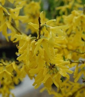 Forsythia x intermedia 'Fiesta', Форзиция средняя 'Фиеста'