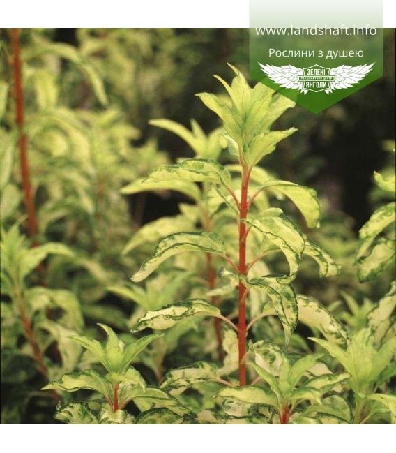 Forsythia x intermedia 'Fiesta', Форзиція середня 'Фієста'