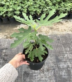 Ficus carica 'Dalmatie', Інжир Далматський