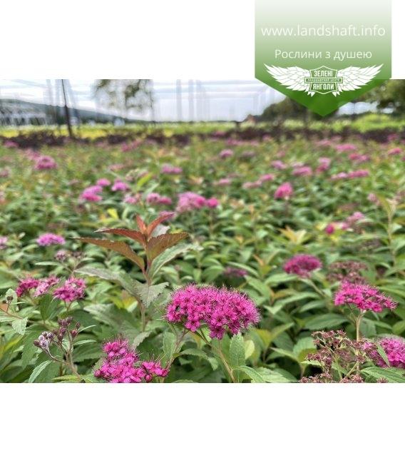 Spiraea japonica 'Anthony Waterer', Спирея японская 'Антони Ватерер' в горшке 0.5 с цветом.