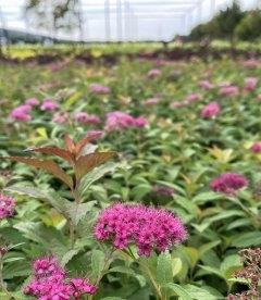 Spiraea japonica 'Anthony Waterer', Спірея японська 'Антоні Ватерер' в горщику 0.5 з цвітом.