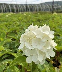 Hydrangea paniculata 'Polar Bear', Гортензія волотиста 'Полар Бер' квітка.