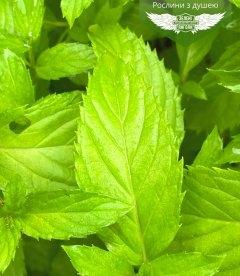 М'ята колосиста 'Якіма' в горщику 2л насичений колір листя