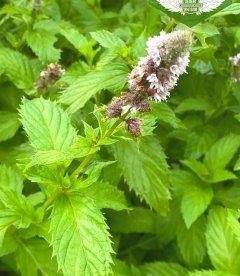 М'ята колосиста 'Якіма' цвіт.