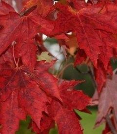 Acer x freemanii 'Autumn Fantasy', Клен Фрімана 'Отм Фентезі'