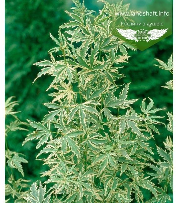 Acer palmatum 'Butterfly', Клен пальмолистий 'Батерфлай'