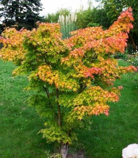 Acer palmatum 'Orange Dream', Клен пальмолистий 'Оранж Дрім'
