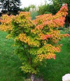 Acer palmatum 'Orange Dream', Клен пальмолистий 'Оранж Дрім'