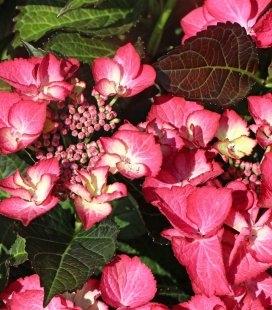 Hydrangea macrophylla, Гортензия крупнолистная краснолистная