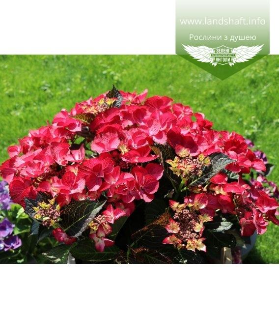 Hydrangea macrophylla Гортензия краснолистная