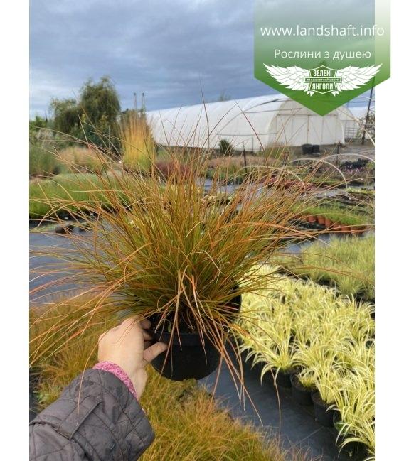 Carex testacea, Осока теракотова, в горщику 2л.