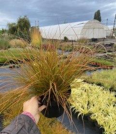 Carex testacea, Осока терракотовая, в горшке 2л.